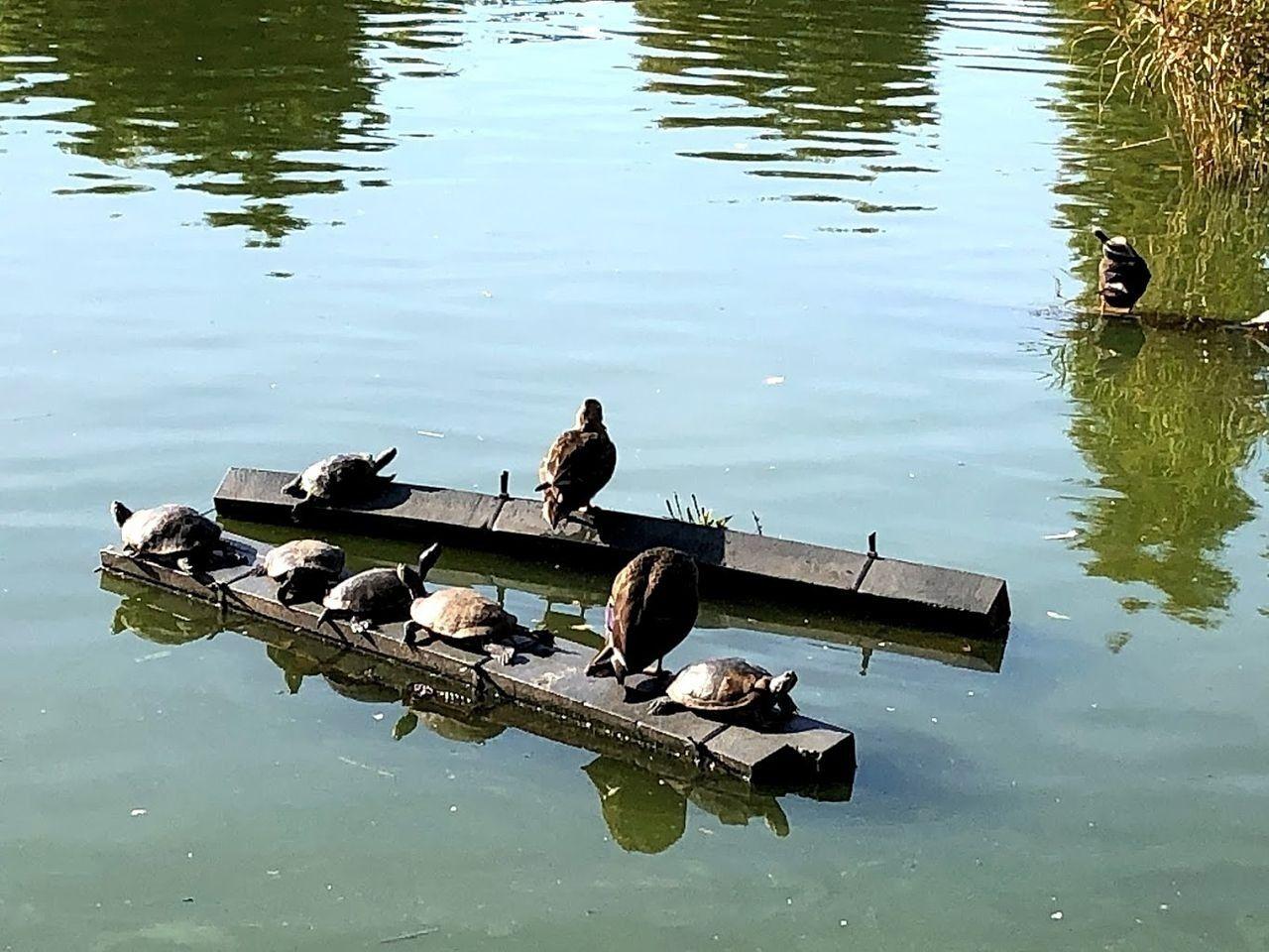 見次公園の池にカルガモや亀